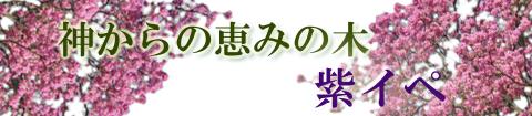 神からの恵みの木 三倖紫イペ